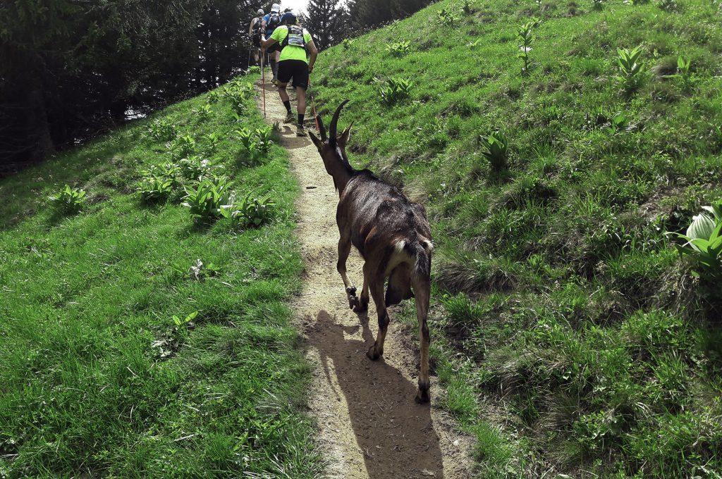 Une chèvre sur le parcours de la MaxiRace